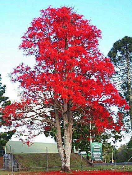 Muda Árvore De Fogo -Novidade no Brasil