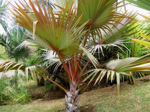 Muda da Palmeira Latânia Rubra-Novidade no Brasil -30 a 60 cm