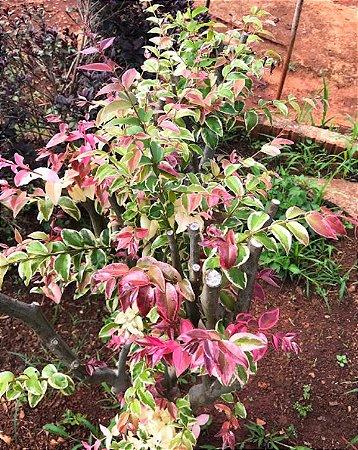 "Jabuticaba Paulista Variegata – Plinia cauliflora ""Variegata""-Enxertada"