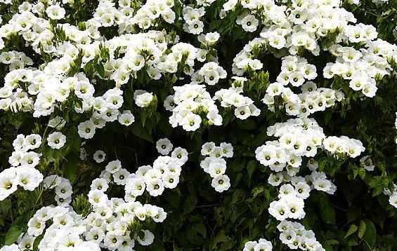 Muda Flor Manto Branco  ou Lençol Branco– Turbina corymbosa