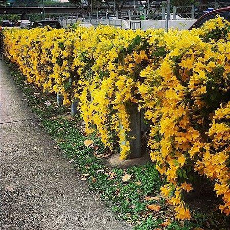 Muda Trepadeira Unha de Gato Flor Amarela