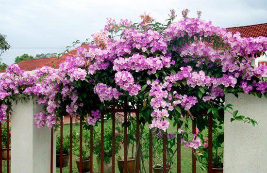 Muda De Cipó Alho - Flor Trepadeira - Mansoa Alliacea (Cor Lilas)