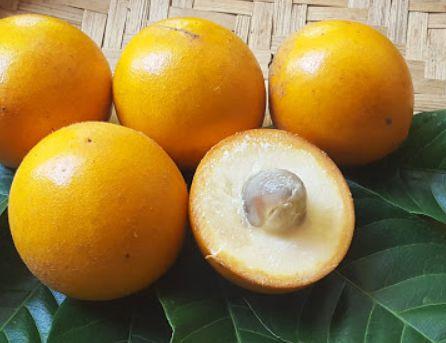Muda Abiu Piloso ou Guapeva ( Pouteria torta )