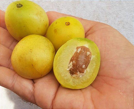 Muda Cajá-Umbú - Spondias tuberosa