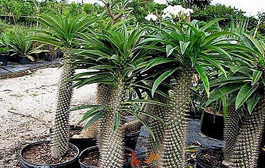 Muda de Palmeira de Madagascar-Novidade