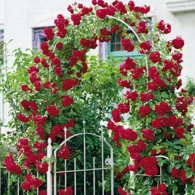 Muda Mini rosas trepadeiras  Vermelhas escuro enxerto já Florece