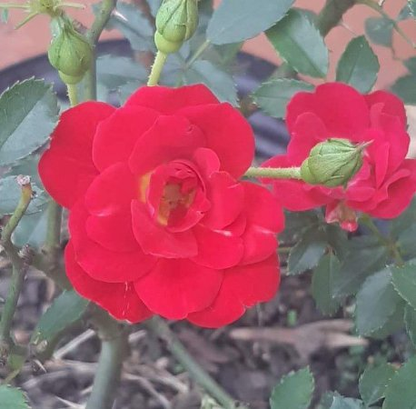Muda mini rosa arbustiva Cor vermelha claro   Enxertada