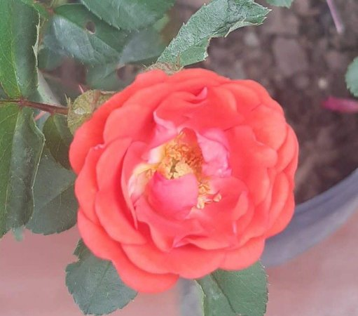 Muda mini rosa arbustiva Cor Laranja   Enxertada