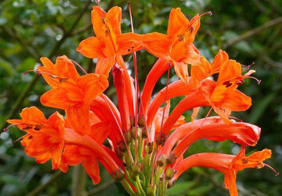 muda flor trepadeira Tecomaria vermelha