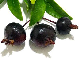 MUDA PITANGA NEGRA SELVAGEM PARA VASO ( Eugenia sulcata ) Exótico