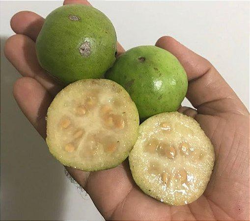 MUDA ARAÇÁ GIGANTE ou AÇU ( Psidium arboreum )Nativo da Amazônica