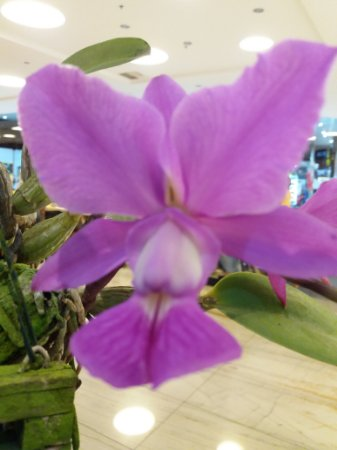 Cattleya Walkeriana Tipo