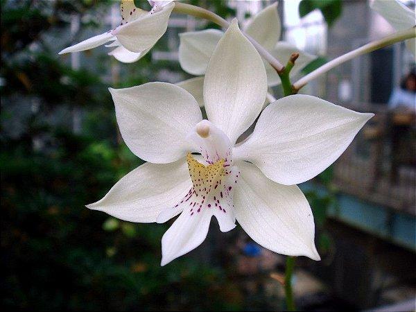 Epidendrum Caularthron bicornutum