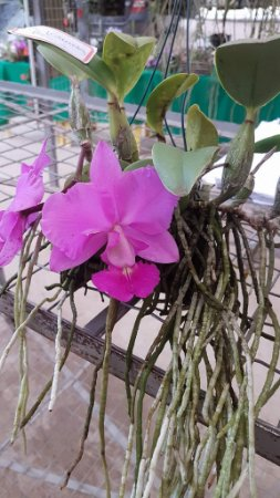 Cattleya Walkeriana tipo - variadas