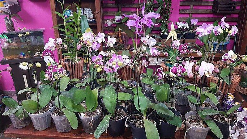 Phaleanopsis variadas