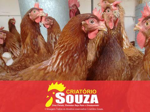 Ovos Galados Isa brown
