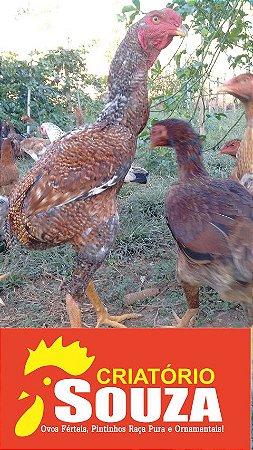 [PROMOÇÃO] Ovos Galados Índio Gigante Baia Elite Reprodutor 117 CM e Matriz 90 a 97 CM