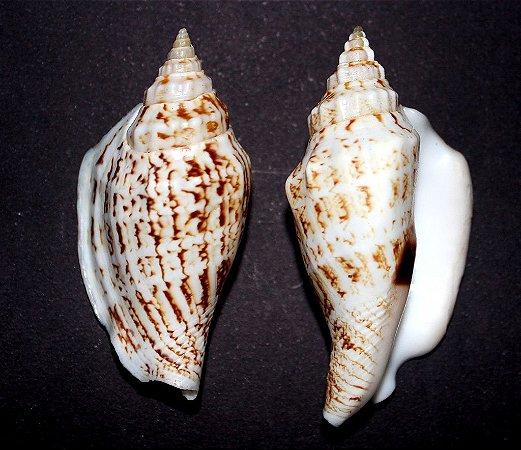 strombus urceus (variabilis) - 750gr