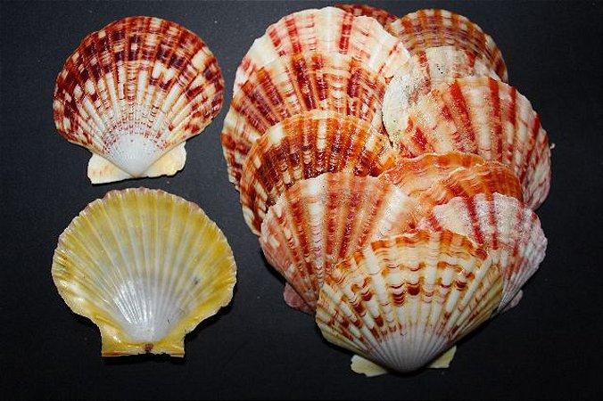 pecten annachlamys (macassarensis) - 750gr