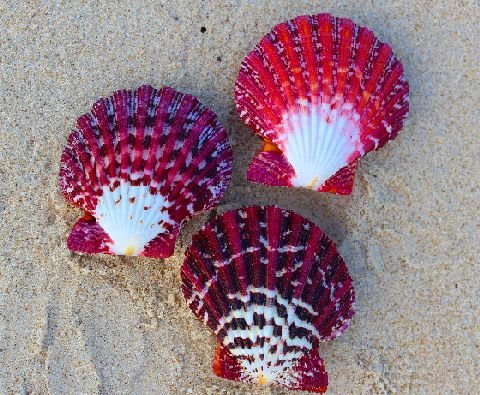 gloria pallium unpair  (scallop shell) - 750g