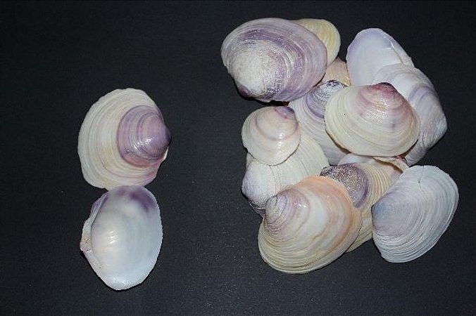 mactra violacea unpair  (violet clam) - 750gr