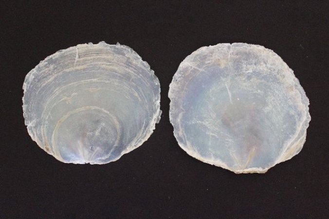 placuna placenta (capiz shell) - 750gr