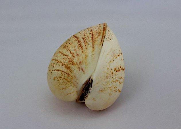 brown giant litub pair ( cucullaea labiata ) - unid