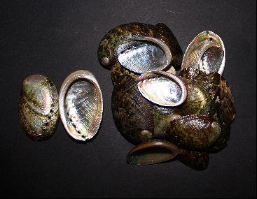 haliotis glabra (round abalone) - 750gr