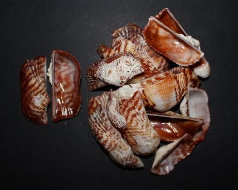 arca navicularis ( indo-pacific ) peanut s. - 750gr
