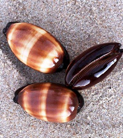 cypraea talpa  ( mole cowrie ) 5 cm - unid