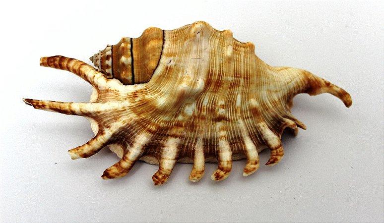lambis millipeda 12 cm - unid