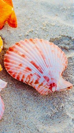 pecten colored pair 5 cm - unid