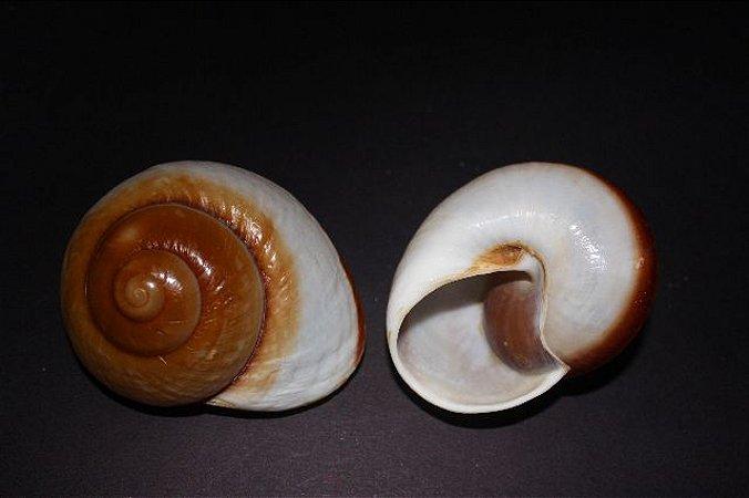 ryssota ovum (ensaymada shell) 6 cm - unid