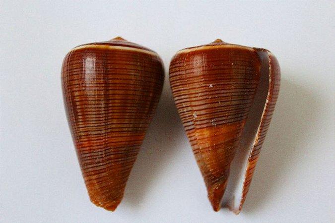 conus figulinus 5 cm - unid
