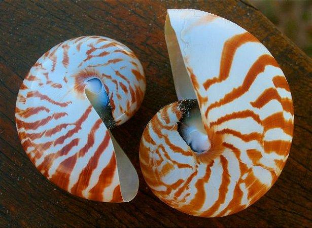 nautilus pompilius nat. (chambered nautilus) 15 cm - unid