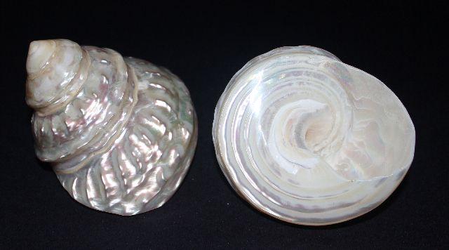 astraea undosa pearlized 9 cm - unid