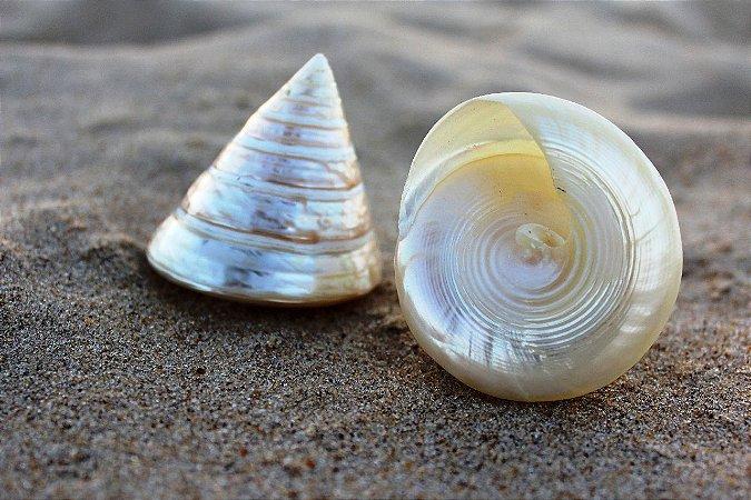 troca female pearl. (tectus p.) 6 cm - unid