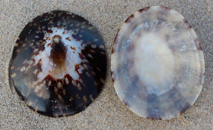 oval limpt polis. (cellana testudinaria) - unid