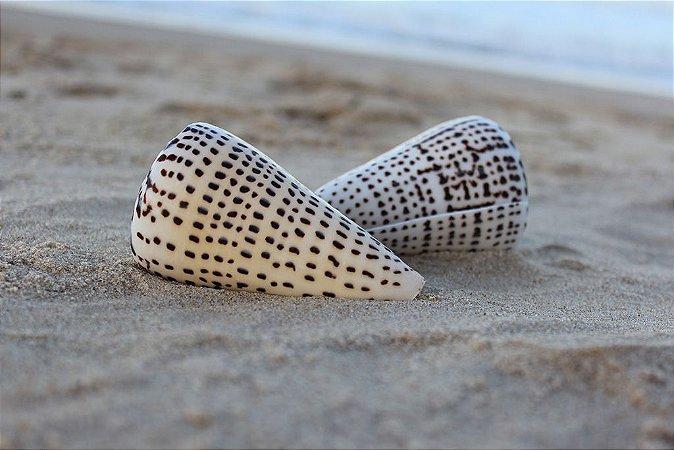 conus leopardus 10 cm - unid