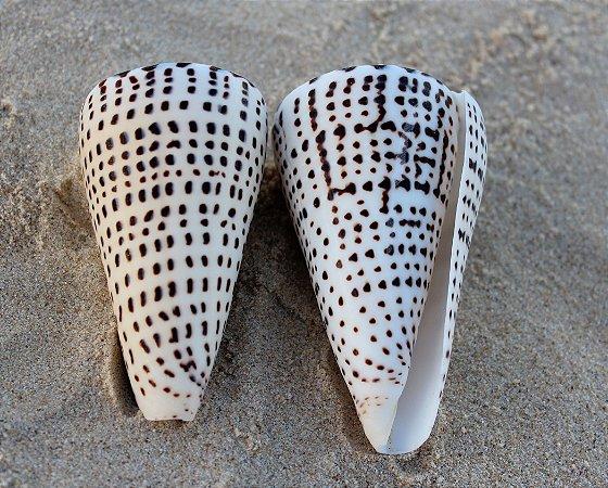 conus litteratus 7 cm - unid