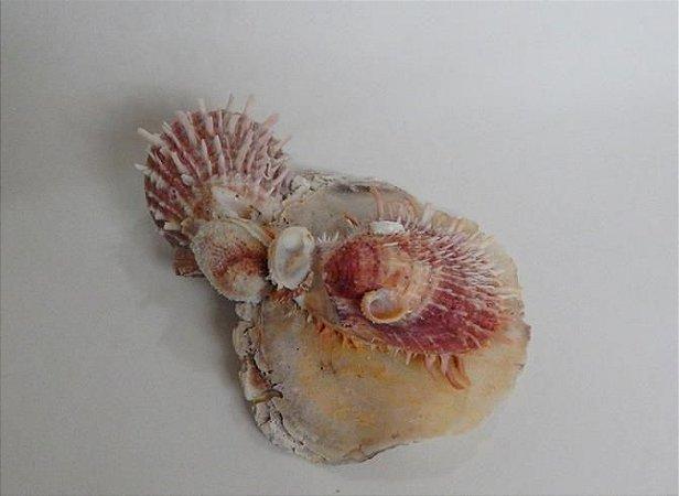 spondylus w/baliad shell - unid