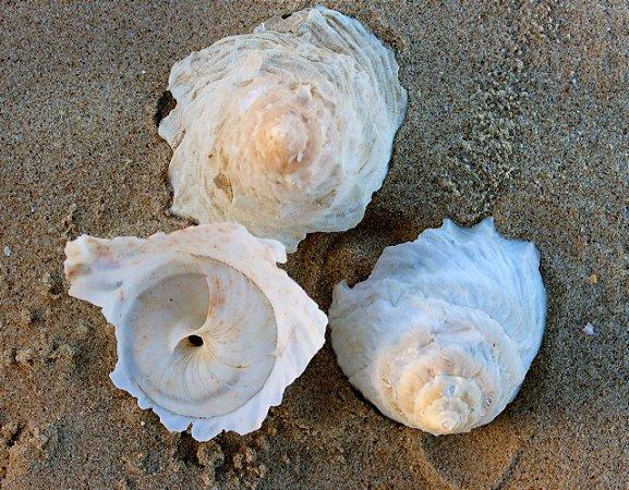 xenophora (tugurium caribaeum) - unid