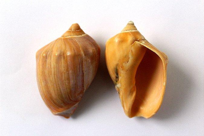 adamelon brasiliana 10 cm - unid