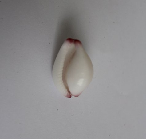 cypraea  calpurnus 2 cm - unid
