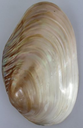 cabibe pearlized river shell pair 22 cm - unid