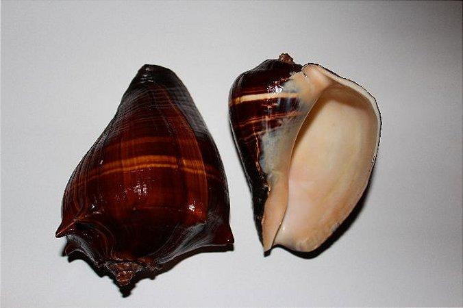 patula melongina polished 15 cm - unid