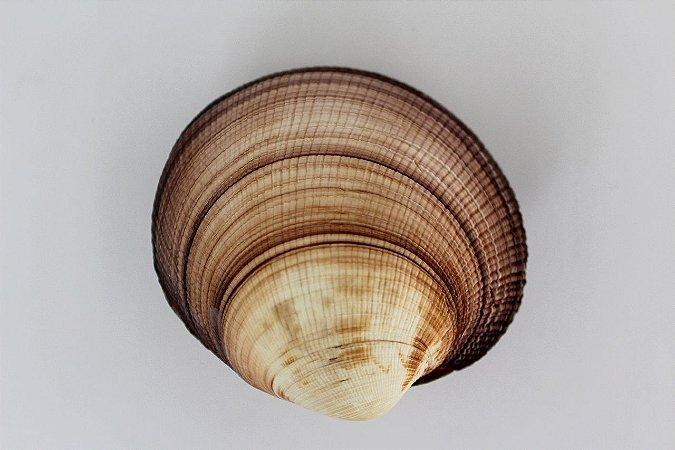 maxima clam (antigona magnifica) 10 cm - unid