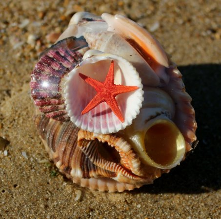 shell pack brown cockles - unid