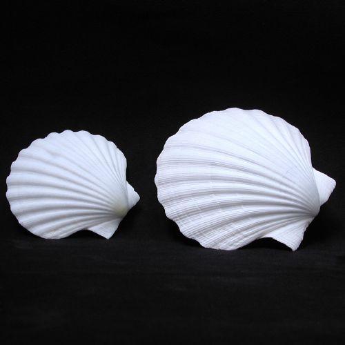 pecten - white scallop (trachycardium fl - pc/10