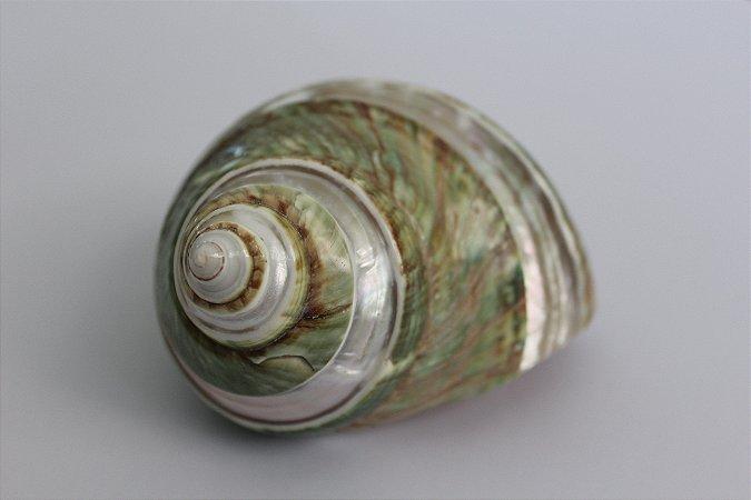 turbo burgues banded 9 cm  - unid
